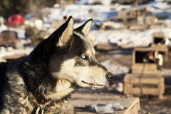 Sled Dog With White Eyes Royalty Free Stock Images