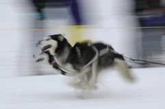 Sled Dogs 01. Motion image of sled dogs racing Royalty Free Stock Photos