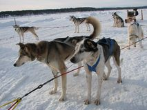 Sled dogs Stock Image