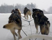 Sled Dogs. Team of dogs pulling a sled