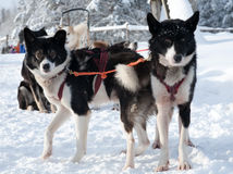 Sled dogs Royalty Free Stock Images