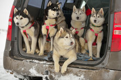 Sled dogs. In a car before the racing Royalty Free Stock Image