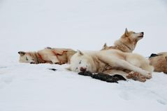 Sled dogs. Pack of sled dogs resting in snow stock image