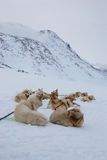 Sled dogs. Pack of sled dogs resting in snow royalty free stock photo