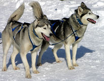 Sled dogs. Two sled dogs wait for the race to start Stock Photos