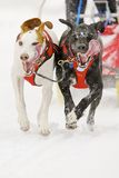 Sled dogs Stock Images