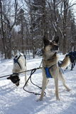 Sled dogs. Break time for the sled dogs Royalty Free Stock Photo