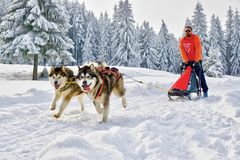 Sled dogs in competition running in frozen land. Sled husky or malamute dogs team with musher and sleigh running in white frozen winter wonderland. Iced fir stock photo
