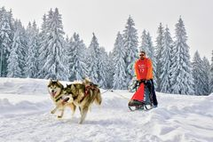 Sled dogs in competition running with sleigh and musher. Sled husky or malamute dogs team with musher and sleigh running in white frozen winter wonderland. Iced royalty free stock photo