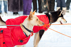 Sled dogs in harness Royalty Free Stock Photography