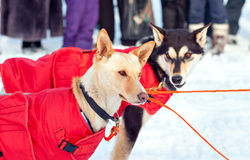 Sled dogs in harness Stock Images