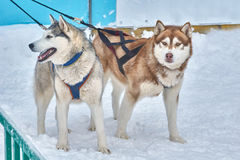 Sled dogs husky. Sled dogs husky very friendly to people Stock Photography