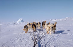 Sled Dogs on the Ice and Snow. Baffin island (arctic Royalty Free Stock Image