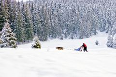Sled dogs and musher in snowy mountain forest. Sled husky or malamute dogs team with musher and sleigh running in white frozen winter wonderland. Iced fir trees royalty free stock photography