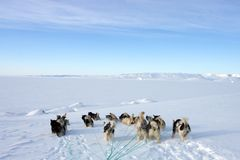 Sled dogs on the pack ice of East Greenland. Sled or sledge dogs, East Greenland, Scoresbysund, the Arctic Royalty Free Stock Photos