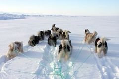 Sled dogs on the pack ice of East Greenland. Sled or sledge dogs, East Greenland, Scoresbysund, the Arctic Stock Photos