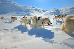 Sled dogs on the pack ice. Of East Greenland Royalty Free Stock Image