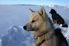 Sled dogs of polar-bear hunter, East Greenland. Sled or sledge dogs of eskimo polar-bear hunter on pack ice during winter,  Scoresbysund, East Greenland, the Stock Images