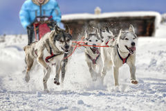 Sled dogs pulling musher. Atmospheric photo of beautiful sled dogs pulling their musher. The background shows a block house in a landscape covered in deep snow royalty free stock photos