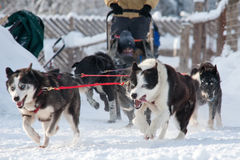 Sled dogs race Royalty Free Stock Image