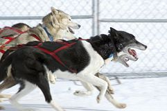 Sled Dogs Race By. At dog sledding event - motion blur Royalty Free Stock Photos