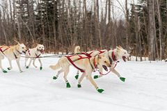 Sled Dogs Race Along Trail Royalty Free Stock Photography