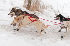 Sled Dogs Race Up Embankment Stock Photography
