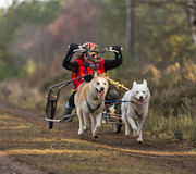 Sled dogs racing. Stock Photo