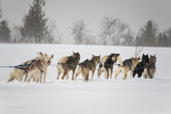 Sled dogs Royalty Free Stock Photography