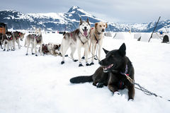Sled dogs on a rest break Stock Photo
