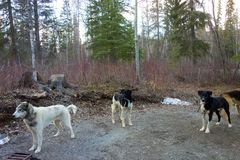 Working dogs at a campground in northern canada Royalty Free Stock Photography