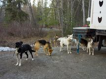 Working dogs at a campground in northern canada Royalty Free Stock Images