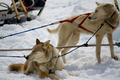 Sled Dogs Resting Stock Photography