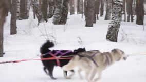 Sled dogs run stock footage