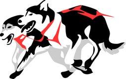 Sled dogs. Running - malamute or husky Stock Image