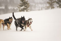 Sled dogs running Stock Photo