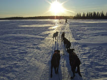 Sled dogs in snowy landscape. Scenic view of tethered sled dogs running through snowy landscape towards sunset Royalty Free Stock Images