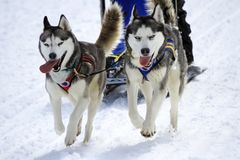Sled dogs in speed racing, Moss, Switzerland Stock Image