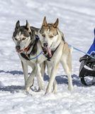 Sled dogs in speed racing, Moss, Switzerland Stock Images