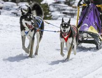 Sled dogs in speed racing, Moss, Switzerland Royalty Free Stock Photo