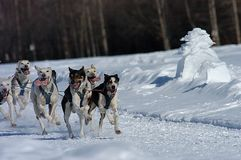 Sled Dogs Sprinting Through the Snow Stock Image