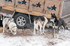 Sled Dogs Stand Near Dog Truck Stock Photo
