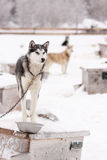 Sled Dogs Standing on Roof of Dog Houses in Winter. Chained Sled Dogs Standing on Roofs of Dog Houses Outdoors in Winter Stock Photo