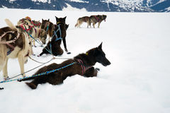 Sled dogs take a rest break during a training run Royalty Free Stock Photos