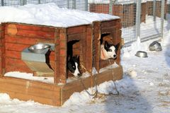 Sled Dogs. Two sled dogs hiding inside their doghouses stock photography