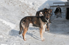 Sled Dogs Wait for Race Start Royalty Free Stock Images