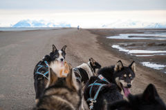 Sled dogs waiting to pull the sled Stock Image