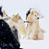 Sled dogs in winter Royalty Free Stock Images