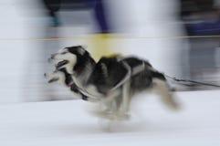 sled för 01 hundar Royaltyfria Foton