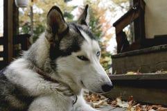 Sled husky dog with blue eyes Stock Photo